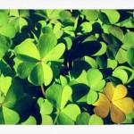 St Patrick's day, shamrock