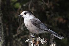 A text in English about a bird of North America - Gray Jay
